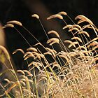 Wild Grass by reindeer