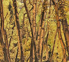 Bronzed Aspen Trunks Fine Art Photograph by Steven Kosek