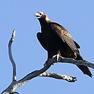 The  Wedge-Tailed Eagle by Rick Playle