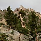 Cedar near Ebbets Pass Sierra Nevada California by Larry Darnell