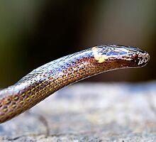 Dwarf Crowned Snake (Cacophis krefftii). by Normf