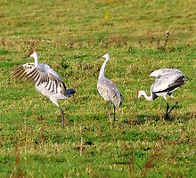 3 Sandhill Cranes by Molly  Kinsey