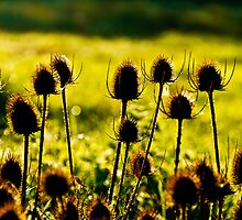 Teasels on a Sunlit Morning by Martin Potter