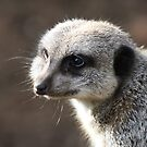 Meerkat 02 by Peter Barrett