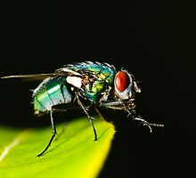 Red Eyed Flesh Fly by Martin Potter