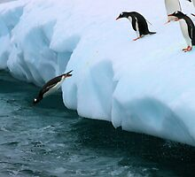 Gentoo penguins going for fishing by Marion Joncheres