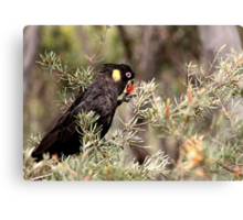 Yellow Tailed Black Cockatoo (Male) Canvas Print