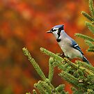 Blue Jay on Spruce by Bill McMullen