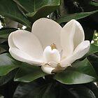 Magnolia by Sarah Trent
