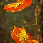 Poppy Dream by zzsuzsa
