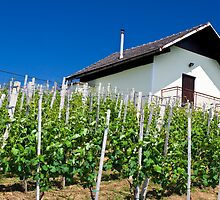 Vineyard slope in Slovenia by ShanneOng