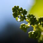 Baby Grapes by Lisa Knechtel