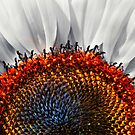 Sunflower, redux! by Eyal Nahmias