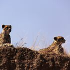 cheetahs on the lookout by Iris Mackenzie