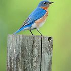 little bluebird won't you sing for me by KathleenRinker