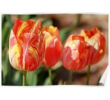 Tulips - Four Poster