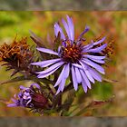 Asters by bicyclegirl