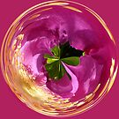 Spherical dog rose by capney