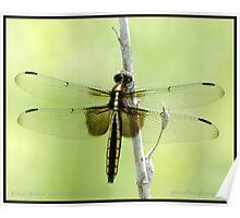 Female Widow Skimmer dragonfly Poster