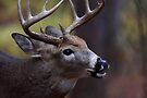 Big 10-pointer - White-tailed Deer by Jim Cumming