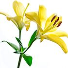 High-key Yellow Lily on White Background by edge2edgephoto