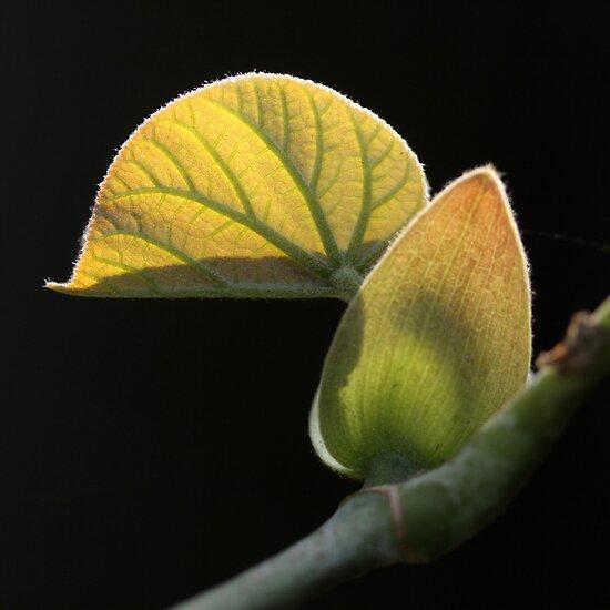 meijo leaf by Iris Mackenzie
