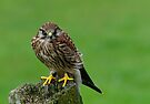 Kestrel on tree stump by buttonpresser