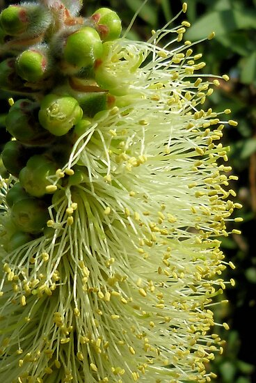 White/yellow Bottle Brush Flower by Michelle  Evans-Catherall