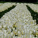 White Velvet Rows! - Tulip Plantation - NZ by AndreaEL