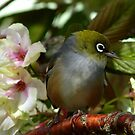 Oh dear! I think Iv&#x27;e been left at the Alter! - Silvereye - NZ by AndreaEL