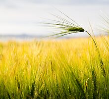 Close up shot of green wheat by ShanneOng