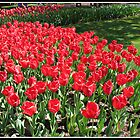Scarlet Tulips in the Keukenhof Gardens, Holland by BlueMoonRose