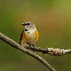 American Redstart Sitting Pretty by Bill McMullen