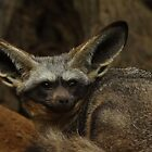 Bat Eared Fox by Daniela Pintimalli