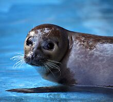 Harbour Seal by Daniela Pintimalli