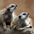 Baby Meerkats by Barb Leopold