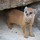 Baby Mongoose by Sandra Farrow