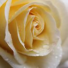 Yellow Rose 2. by Jean O&#x27;Callaghan