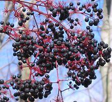 Elderberries by teresa731