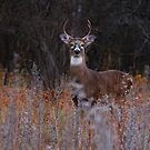 A regal stance - White-tailed Deer 2 by Jim Cumming