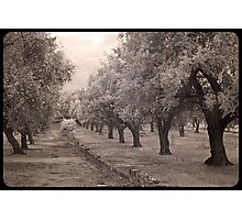 A walk through an olive grove  Photographic Print