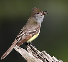 On Call / Great Crested Flycatcher by Gary Fairhead