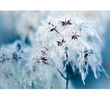 Cotton Grass Seedhead blues Photographic Print