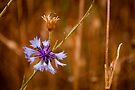 Lone cornflower by David Isaacson