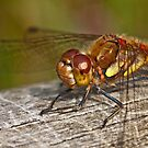 Common Darter dragonfly  by Shaun Whiteman