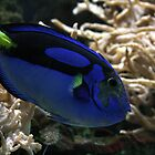 Blue Tang by kez007