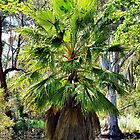 Washingtonia Palm by Clive