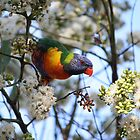 Rainbow Lorikeet  by aussiebushstick