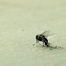 Dead Dusty Fly by pturner