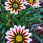 The Three Gazania Flowers by Mariaan Maritz Krog Photos & Digital Art